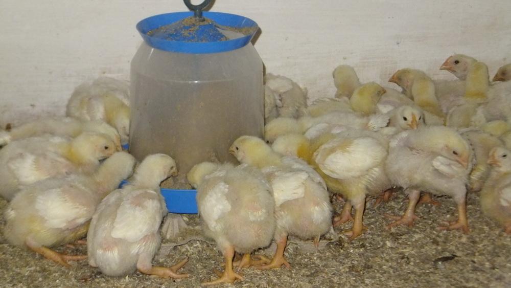 Цыплята- бройлеры в августе.