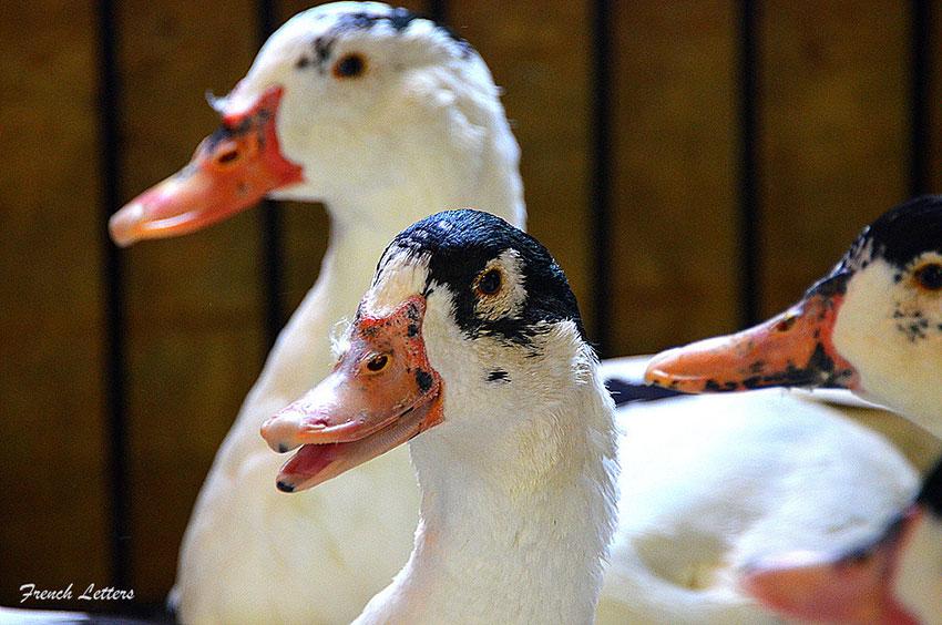 Moulard-Ducks-3