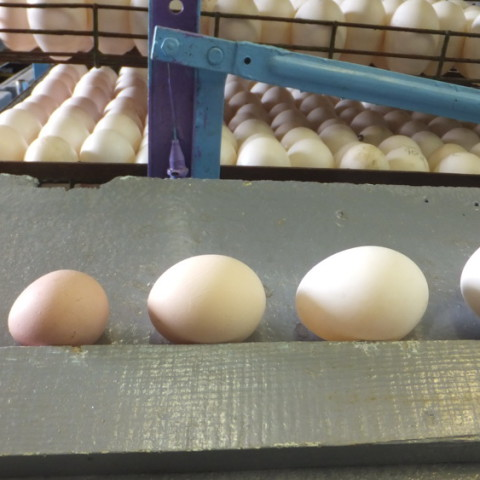 Яйцо по ранжиру